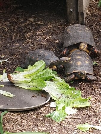 Private Airboat Tour with Alligator Encounter and Transport: Turtles love eating on fresh lettuce!