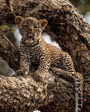 Treed leopard cub
