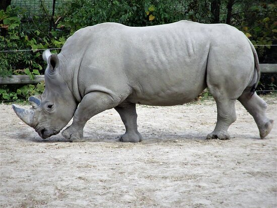 White Rhino in -- fast! -- motion.