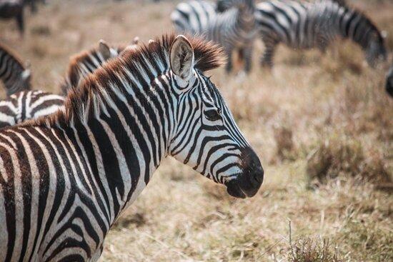Serengeti National Park, Tanzanya: Zebra bij Serengeti