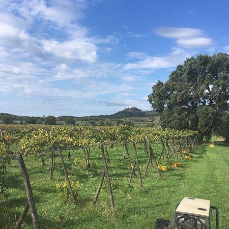 Roccatederighi, Ιταλία: The organic vineyard with Montemassi castle in background