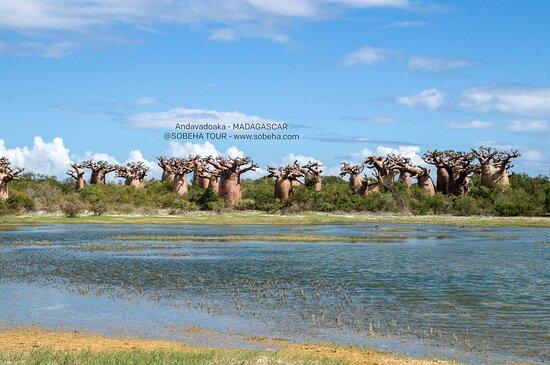 Andavadoaka, مدغشقر: Forest of baobab in Andavadoaka 