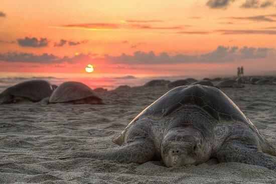 Privat tur: Cherating Turtle Sanctuary Night Tour fra Kuantan
