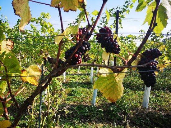 Kinsbrook Vineyard