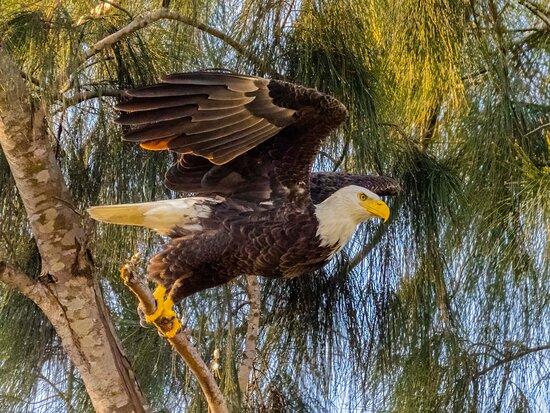 Pembroke Pines Bald Eagle Nest