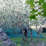 Men harvesting olives right outside my bedroom!