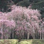 しだれ桜も、本当に見事です