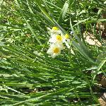 馨しい香りのスイセンもたくさん咲いてました