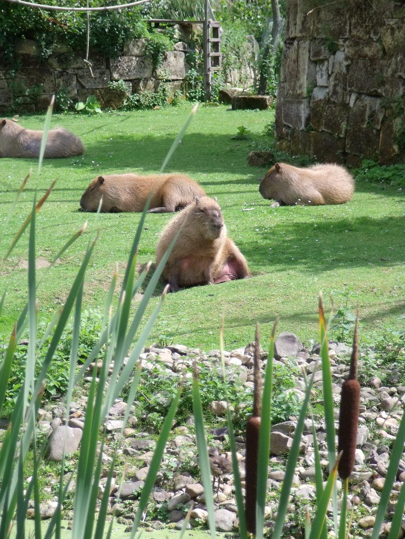 Zonnende capibara's