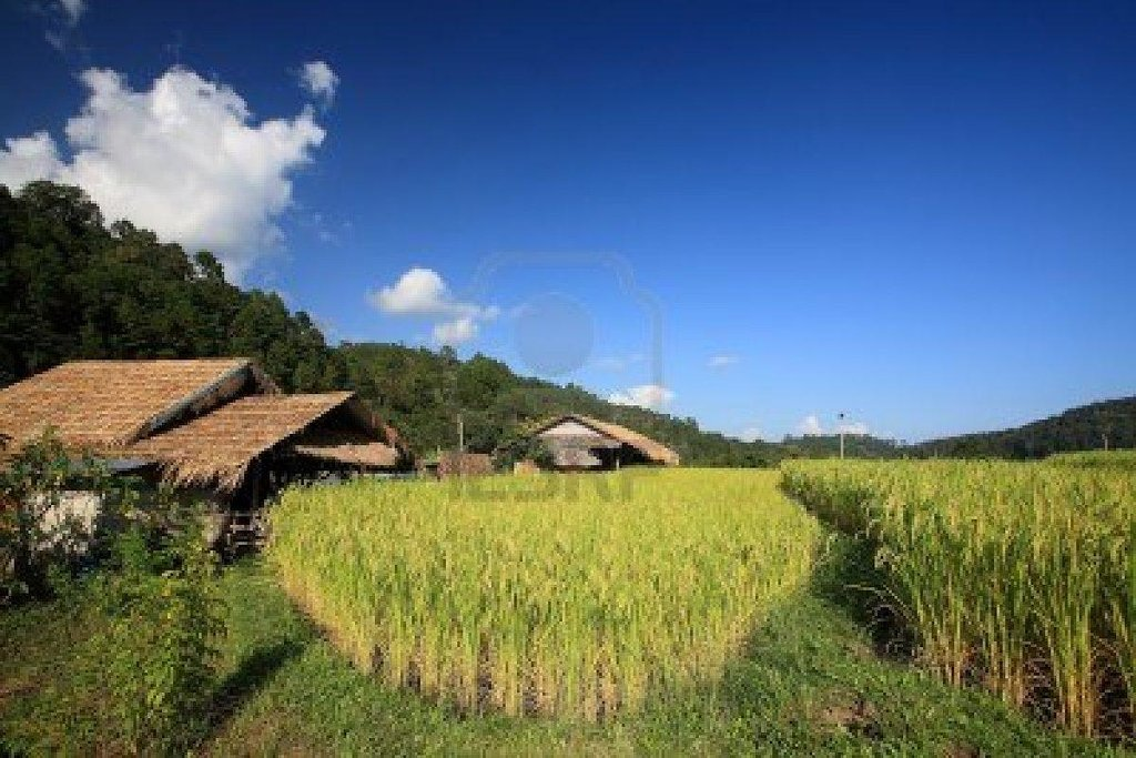 Ricefield House