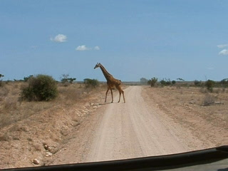 Tsavo National Park East, Quênia: Giraffe crossing the road