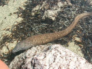 Turtle Bay Beach Club: Moray eel