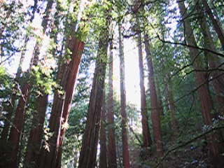 Peaceful Muir Woods