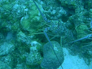 Two Caribbean Spiny Lobster