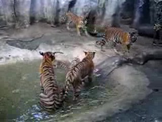 Chonburi, Tayland: Si Racha tiger zoo - young tiger 02