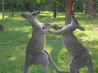 Beerwah, Australia: Aq. The Roo's flaking into each other