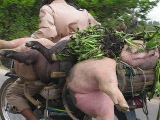 Siem Reap, Cambodia: 35 Pigs to market movie