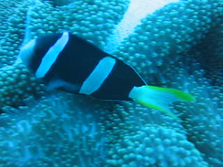 Cebu City, Filipiny: Territorial Clownfish