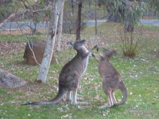Victoria, Australien: 13 more of em