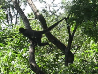 San Pedro La Laguna, Guatemala: 05 Monkey swinging on a branch