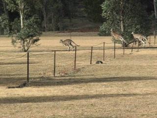 Mount Gambier, Australien: Kangaroos