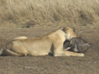 Maasai Mara National Reserve, Kenya: Masai Mara lion with kill