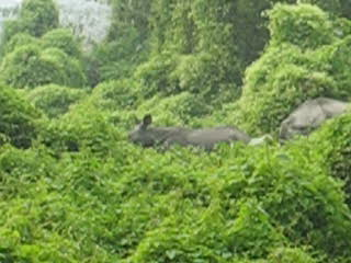 Asia: Video rhinos on jungle walk
