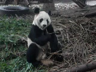 Asia: Panda Chewing Bamboo - so cute!