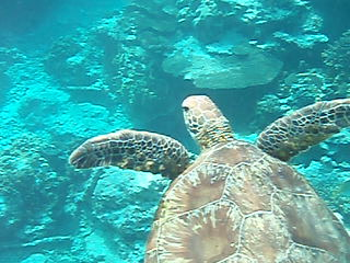 La Gran Barrera de Coral, Australia: a turtle video