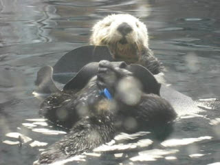 Monterey Bay Aquarium Sea Otter Cleaning