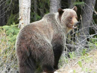 Grizzly Bear in Banff