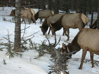 Douglas Fir Resort & Chalets: Wapiti (elk) on Tunnel Mountain, Feb 200