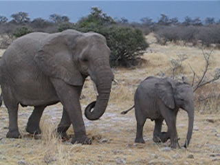 Etosha National Park, Namibia: Elephants in Etosha NP