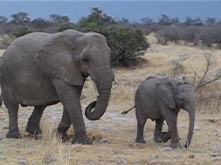 Etosha National Park, Ναμίμπια: Elephants in Etosha NP