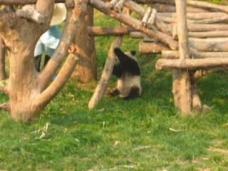 Asie : One Panda Demonstrating His Letahal Prowess