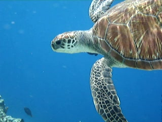 Southern Ari Atoll: Turtle on the house reef