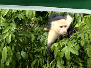 Colon, Panama: feeding a monkey