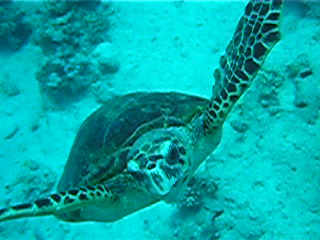 Makadi Bay, Egypte: scuba turtle