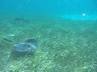 Ciudad de Belice, Belice: 26-CayeCaulker-MOVIE-Emily swimming with rays