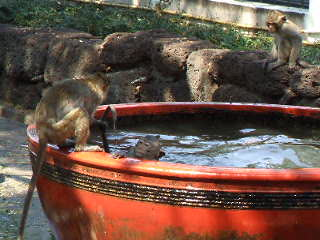 Thailand: 24 Monkeys in the Water