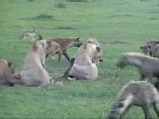 Afrika: Video Tour of Hyena taking over a lion kill in the Serengeti