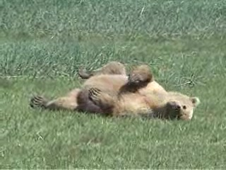 Katmai National Park and Preserve, AK: Alaska Bear Viewing