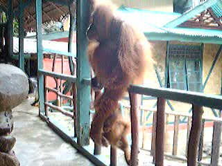 Sumatra, Indonesien: Video clip of our breakfast buddy Beseka!