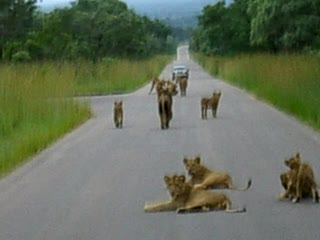 Nationaal Park Kruger, Zuid-Afrika: A big group of Lions in Kruger National park
