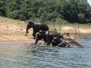 Thekkady, Indien: 004 Wild Elephants - VIDEO!!