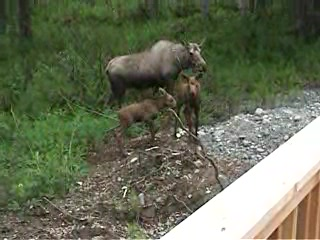 อลาสกา: Alaskan moose on our deck