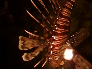 Reef Oasis Beach Resort : Lionfish at the Reef Oasis