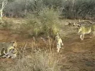 Sun City, Afrika Selatan: Lions playing
