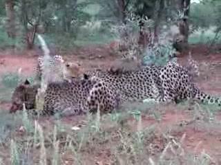 Otjitotongwe Cheetah Park: Listen to the bones crunching!