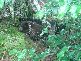 Juneau, AK: Bear napping